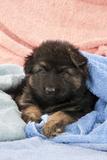 German Shepherd Dog Puppy Sitting on Blankets Photographic Print