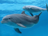 Bottlenose Dolphin Female and Her Calf Photographic Print by Augusto Leandro Stanzani