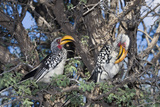 Southern Yellow-Billed Hornbill Pair in Camelthorn Papier Photo par Alan J. S. Weaving