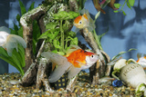 Goldfish in Fishtank Photographic Print
