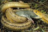 Yellow Rat Snake with Rat Prey in Mouth Photographic Print