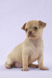 Chihuahua Puppy (6 Weeks) Photographic Print