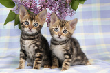 Brown Marble Blue-Eyed Bengal Kittens Photographic Print