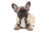 French Bulldog Puppy in Studio Photographic Print
