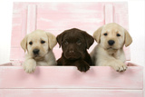 Labrador Retriever Puppies in a Wooden Box Photographic Print