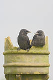 Jackdaw, Youngsters on Chimney Pot Photographic Print