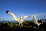 Wandering Albatross Courtship Display Photographie