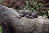 Lowland Gorilla Newborn Female on Mothers Back Photographic Print
