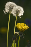 "Dandelion Flowers and Seed-Heads (""Clocks') Photographic Print"