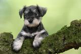 Miniature Schnauzer Puppy (6 Weeks Old) on a Mossy Log Fotografisk tryk
