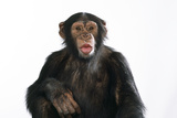 Chimpanzee Showing Lips 'Kissing' Photographic Print