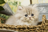 Blue Shaded Persian Kitten in Basket Photographic Print