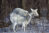 White-Tailed Deer Doe and Fawn, White Color Photographic Print