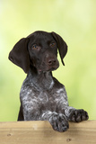 German Shorthaired Pointer Looking over a Fence Photographic Print