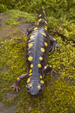 Spotted Salamander in Early Spring Migration Photographic Print