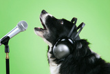 Border Collie Dog with Microphone and Head Phones Photographic Print