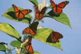 Milkweed Butterflies Photographic Print