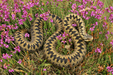 European Common Adder Photographic Print