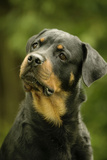 Rottweiler Dog with Head Tilted Photographic Print