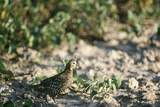Crested Bobwhit, a Type of Quail Male Reproduction photographique par Alan Greensmith