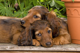 Teckel Dog Two Puppies Photographic Print