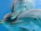 Bottlenose Dolphins, Three Close-Up of Heads Underwater Photographic Print by Augusto Leandro Stanzani