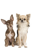 Long-Haired and Short-Haired Chihuahua in Studio Photographic Print