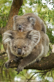 Koala with Young on Back Fotografisk tryk