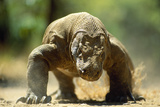 Komodo Dragon Photographic Print by Adrian Warren