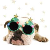 English Bulldog Lying Down Wearing Christmas Glasses Photographic Print