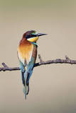 European Bee-Eater Photographic Print