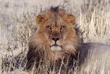 Lion Close-Up of Head, Facing Camera Photographic Print
