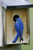 Mountain Bluebird Male at Nest Box Reproduction photographique