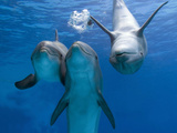 Bottlenose Dolphins, Three Playing Underwater Fotografisk tryk af Augusto Leandro Stanzani