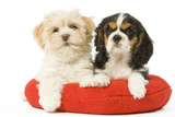 Lhasa Apso and Cavalier King Charles Spaniel Photographic Print