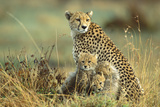 Cheetah Mother with Two or Three-Month Old Cubs Impressão fotográfica