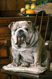Bulldog Sitting on Chair Photographic Print