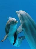 Bottlenose Dolphins, Pair Dancing Underwater Fotodruck von Augusto Leandro Stanzani