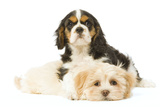 Lhasa Apso Puppy with Cavalier King Charles Photographic Print