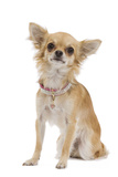 Long-Haired Chihuahua Wearing Diamante Collar Photographic Print