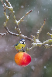 Blue Tit Feeding on Apples in Falling Snow Photographic Print