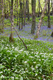Duloe Woods in Spring with Wild Garlic and Bluebells Photographic Print