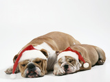 Bulldog Asleep with Puppy Wearing Christmas Hats Photographic Print