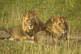 Two Male Lions Close Up Resting in Evening Light Fotografisk tryk