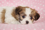 Teddy Bear Puppy on Pink Background Photographic Print