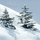 Norway Spruce Tree Photographic Print