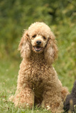 Poodle Dog Photographic Print