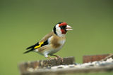 Goldfinch at Bird Table Photographic Print