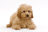 Apricot Poodle Puppy in Studio Photographic Print