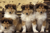Rough Collie Dogs Four Puppies Fotografisk tryk